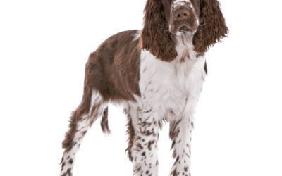 About the English Springer Spaniel – A Video