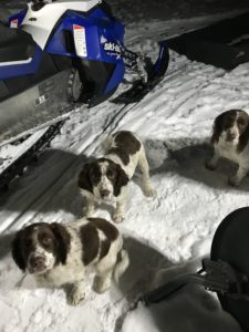 English Springer Spaniels Puppies with Mom